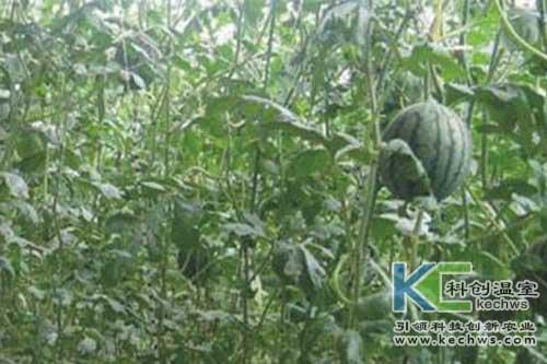 无土栽培,西瓜,无土栽培技术