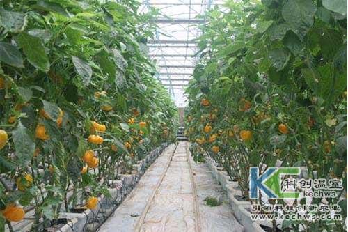 无土栽培,无土栽培建设,甜椒