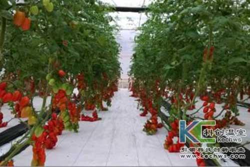 无土栽培,无土栽培技术,樱桃番茄