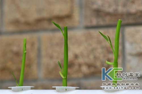 无土栽培技术,基质栽培,无土栽培空心菜