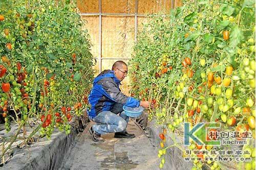 无土栽培,西红柿,简易无土栽培