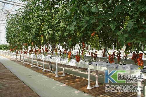 无土栽培,无限生长型番茄,无土栽培技术