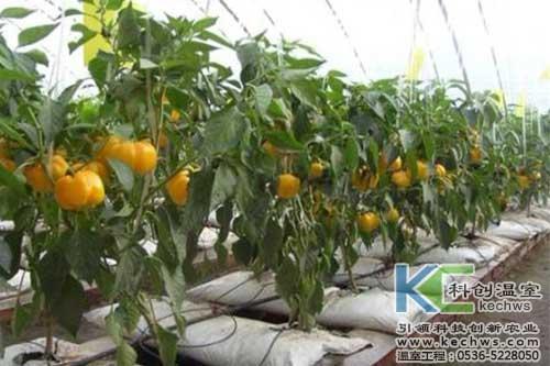 辣椒,基质栽培,无土栽培