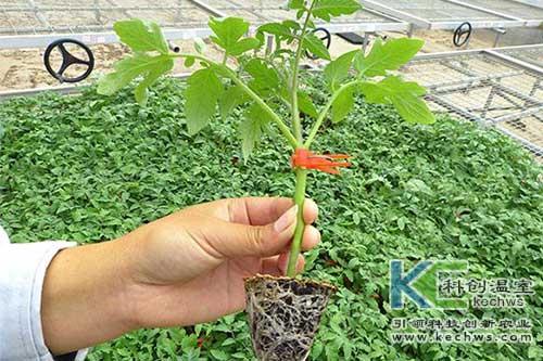 无土栽培,无土栽培番茄,无土栽培管理