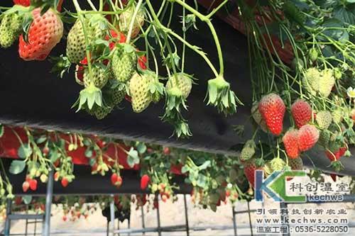 高架草莓,无土栽培,草莓无土栽培