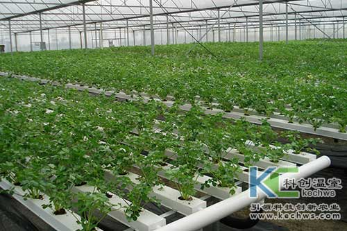 无土栽培,蔬菜,菊花脑