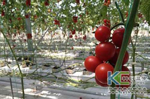 无土栽培,椰糠栽培,番茄