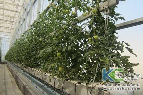 无土栽培,岩棉栽培,番茄