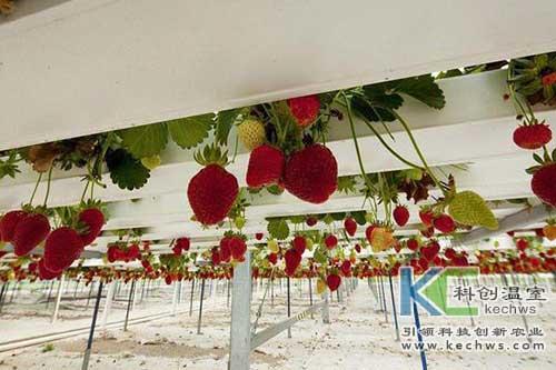 无土栽培,水培草莓,无土栽培技术